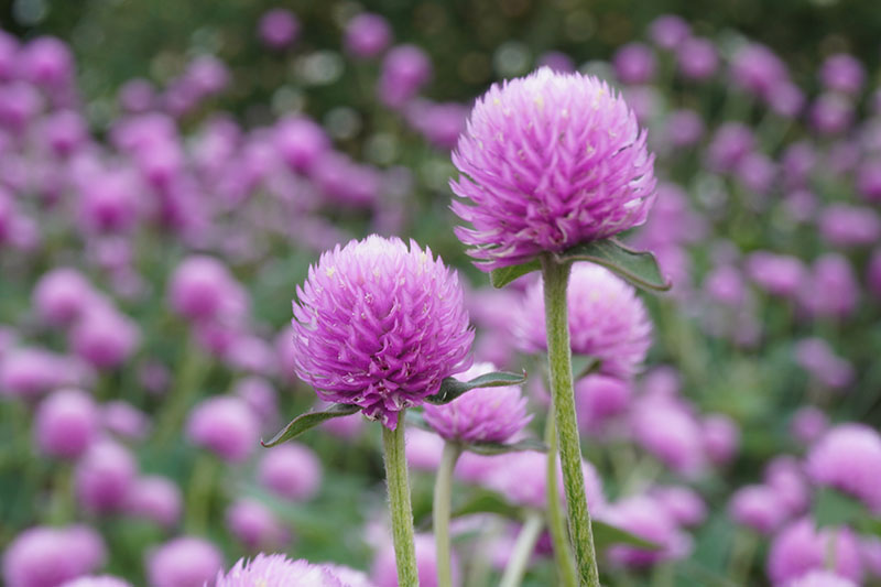 A close up horizontal image of light pink globe amaranth flowers growing in a meadow pictured on a soft focus background.