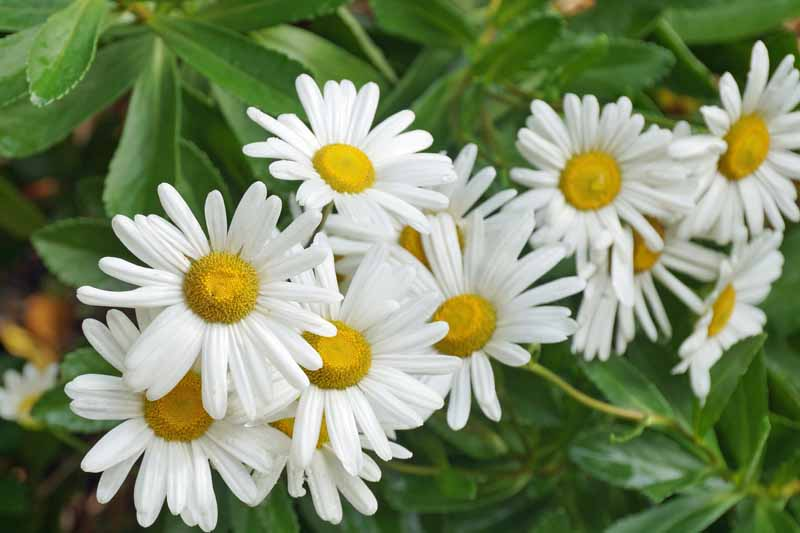 A close up horizontal image of the pretty white flowers with yellow centers of Nipponanthemum nipponicum, aka Montauk daisy growing in the garden.