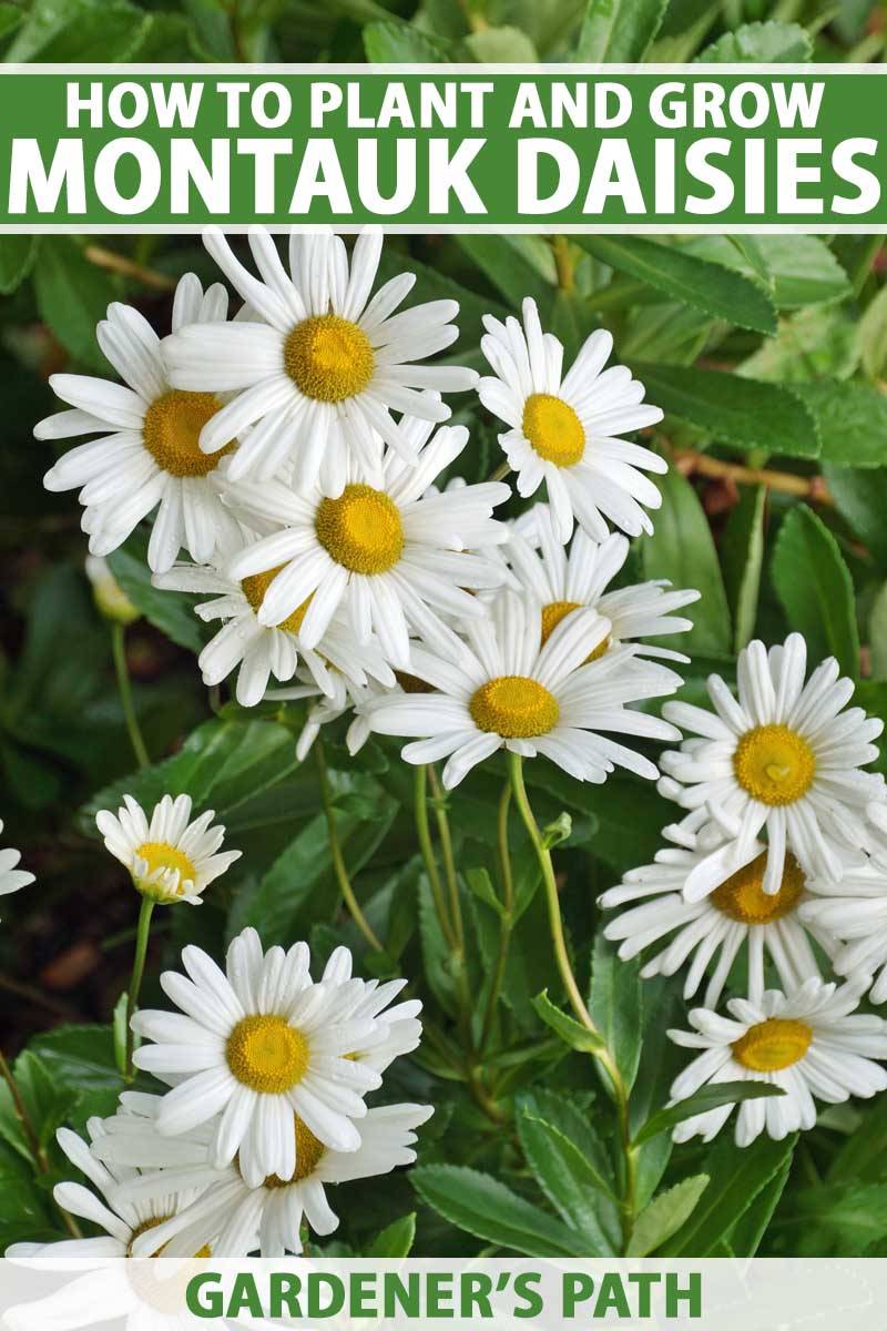 A close up vertical image of the pretty white flowers with yellow centers of Montauk daisies with foliage in soft focus in the background. To the top and bottom of the frame is green and white printed text.