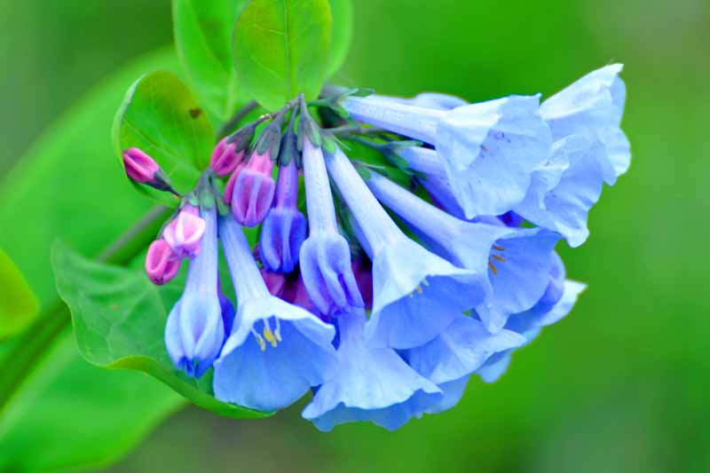 A close up horizontal image of the bright blue flowers with delicate pink buds of Mertensia virginica pictured on a green soft focus background.