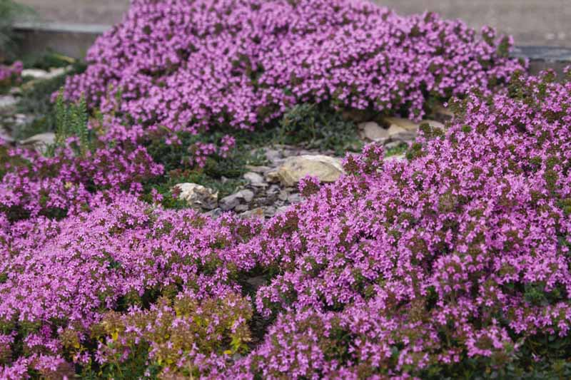 A close up horizontal image of purple flowering Thymus praecox growing over a rockery.