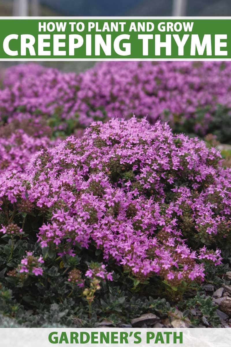 A close up vertical image of the bright pink flowers of creeping thyme growing as a ground cover. To the top and bottom of the frame is green and white printed text.
