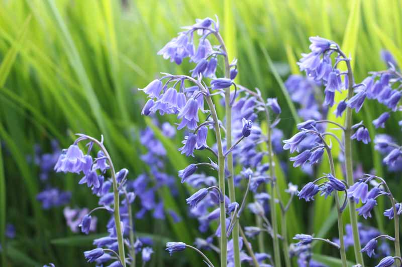 A close up horizontal image of Hyacinthoides hispanica aka Spanish bluebells growing in the garden pictured on a green soft focus background.