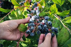 How to Harvest Perfectly Ripe Blueberries