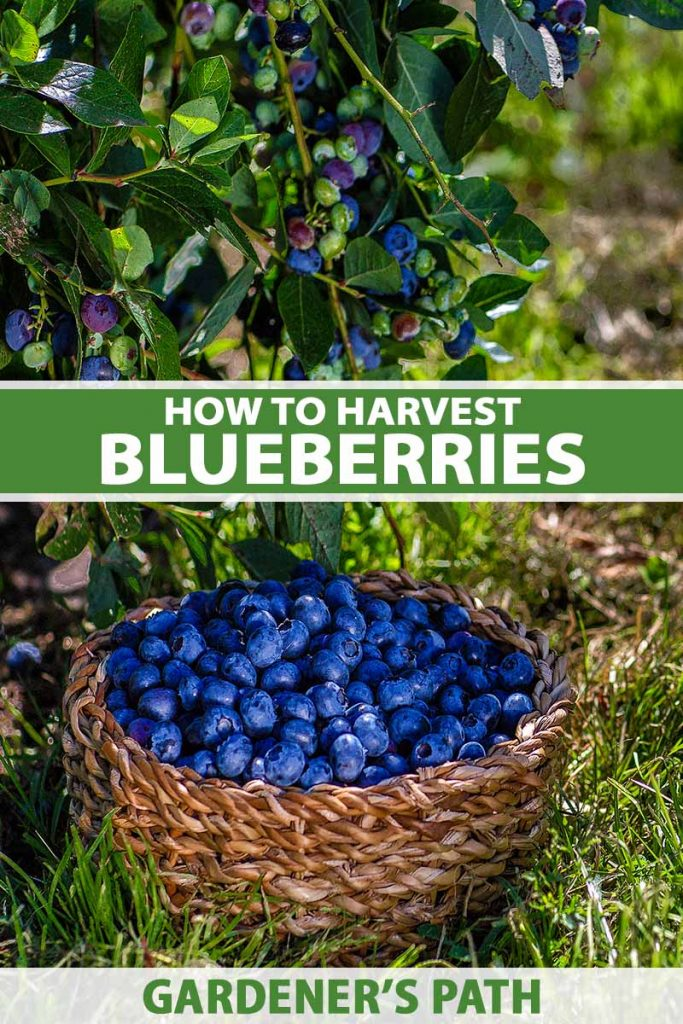 A close up vertical image of a wicker basket set on the ground filled with freshly harvested blueberries with a shrub in the background. To the center and bottom of the frame is green and white printed text.