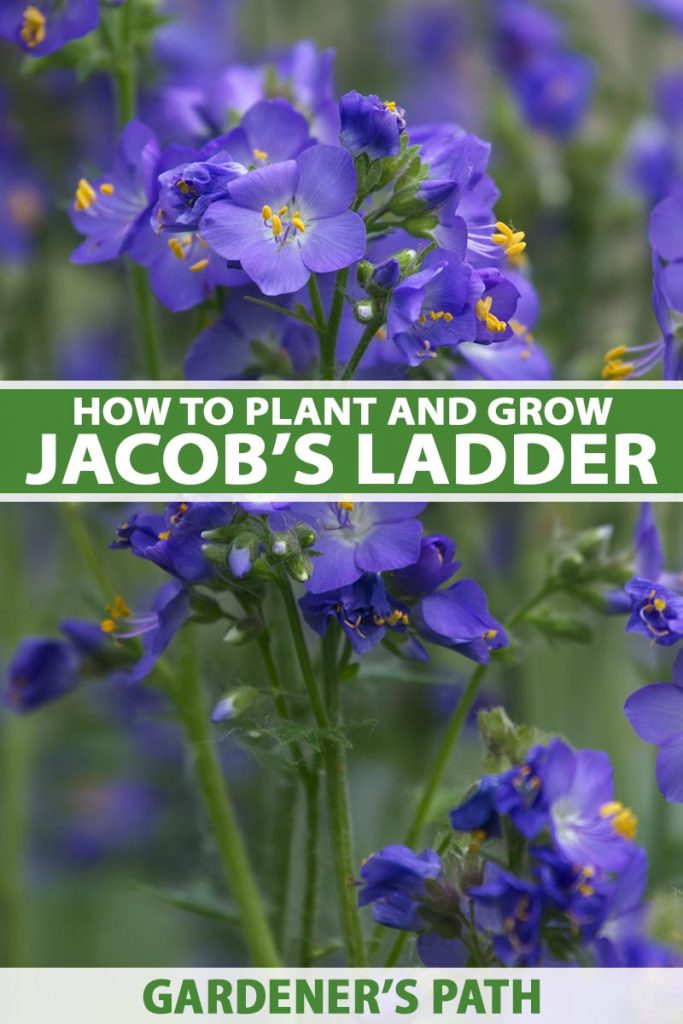 A close up vertical image of the bright blue flowers of Jacob's Ladder growing in the garden pictured on a soft focus background. To the center and bottom of the frame is green and white printed text.
