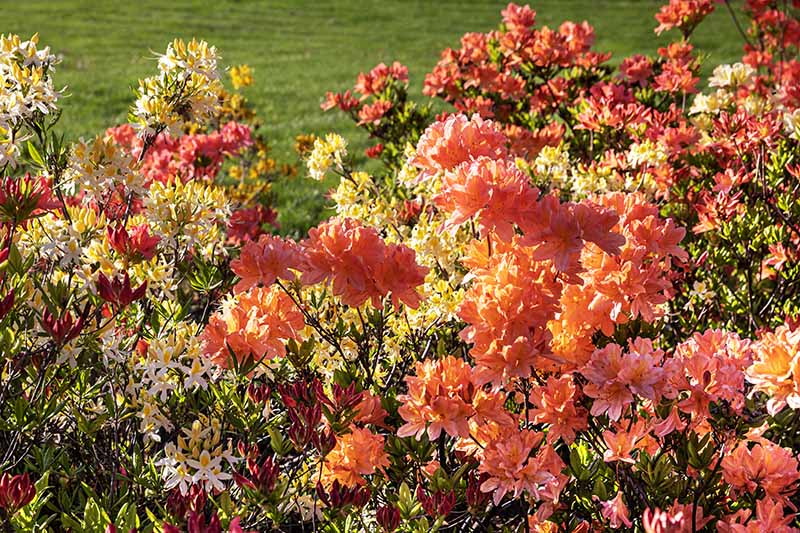 A close up horizontal image of azaleas blooming in the garden in a mixed planting with lawn in soft focus in the background.