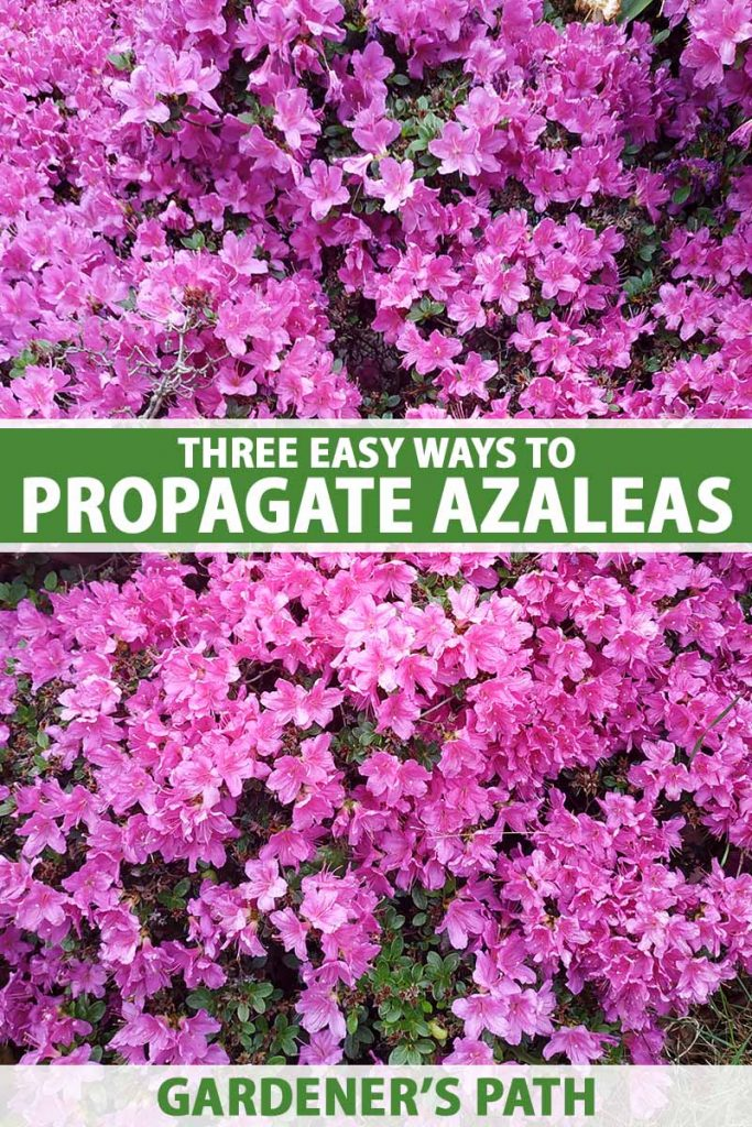 A close up vertical image of bright pink azaleas growing in the garden. To the center and bottom of the frame is green and white printed text.