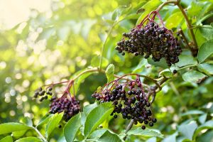 A close up horizontal image of elderberries growing in the garden pictured in light filtered sunshine on a soft focus background.