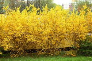 5 Ways to Propagate Your Own Forsythia
