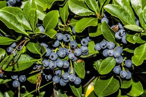 How to Protect Blueberries from Birds