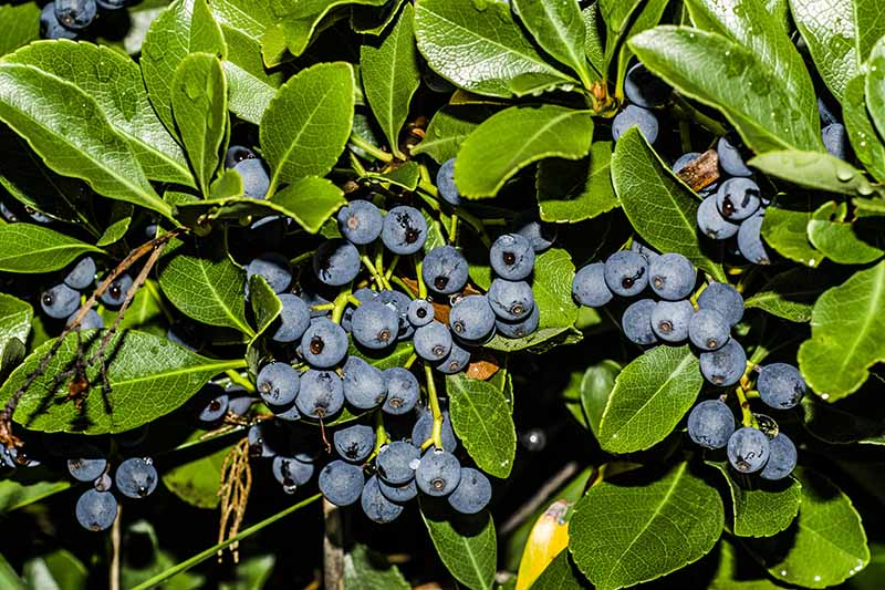 A close up horizontal image of blueberries ready to harvest surrounded by vibrant green foliage pictured in bright sunshine.