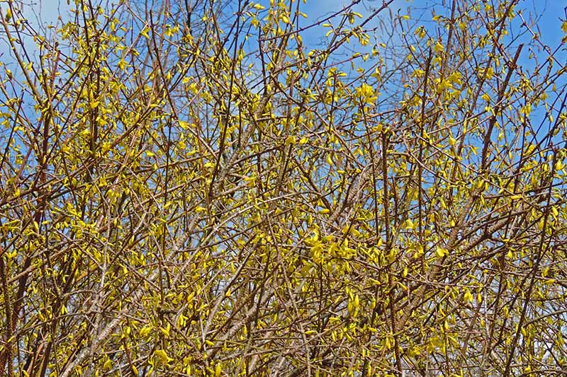 A close up horizontal image of an overgrown forsythia shrub with bright yellow flowers pictured on a blue sky background.