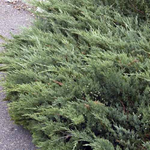 A close up square image of Juniperus 'Hughes' growing by the side of a path.