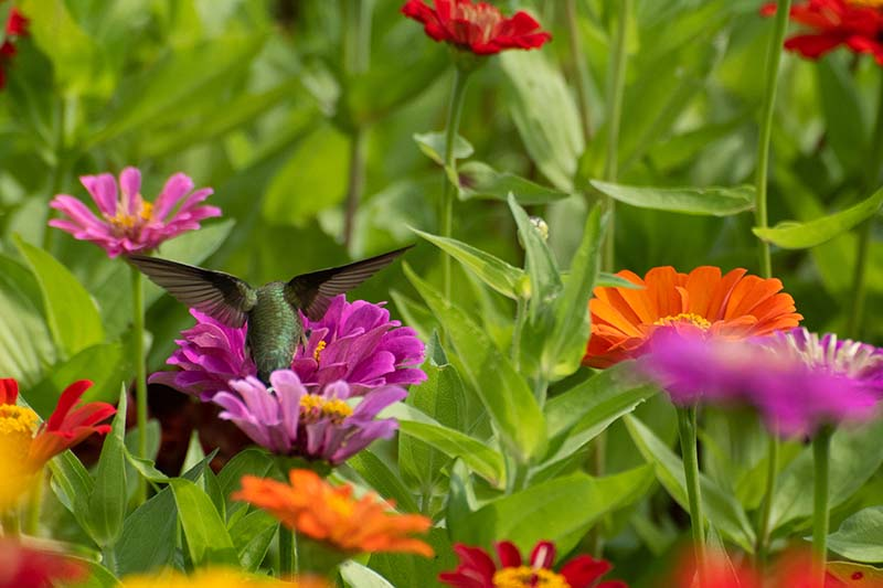 A close up horizontal image of a hummingbird feeding from colorful flowering annuals pictured in light sunshine.