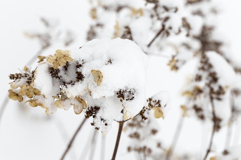 A close up horizontal image of a dead flower covered in a blanket of snow pictured on a soft focus background.