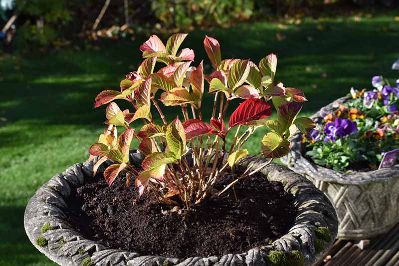 A close up horizontal image of a shrub growing in a concrete planter displaying fall colors, pictured in light autumn sunshine with a garden scene in soft focus in the background.