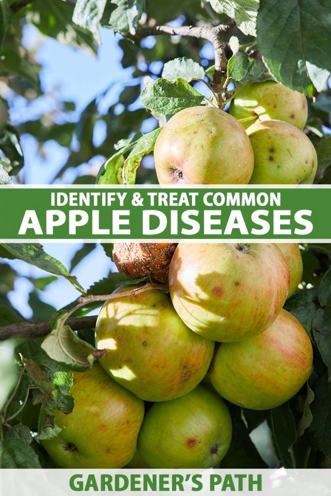 A close up vertical image of apples growing in the garden suffering from disease, with one of them completely rotten, pictured in light sunshine with blue sky in the background. To the center and bottom of the frame is green and white printed text.