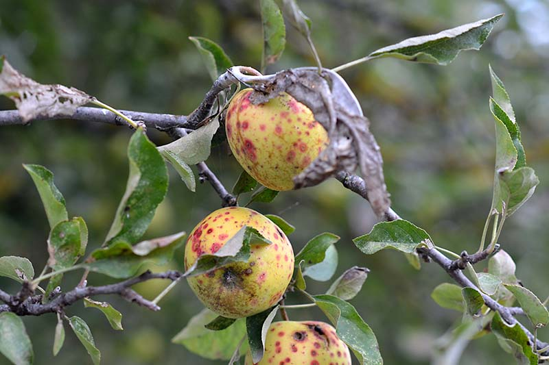 A close up horizontal image of apples growing in the garden suffering from disease pictured on a soft focus background.