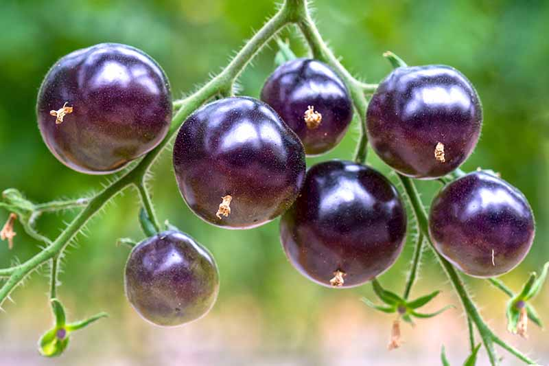 A close up horizontal image of 'Indigo Rose' cherry tomatoes growing in the garden pictured on a soft focus background.