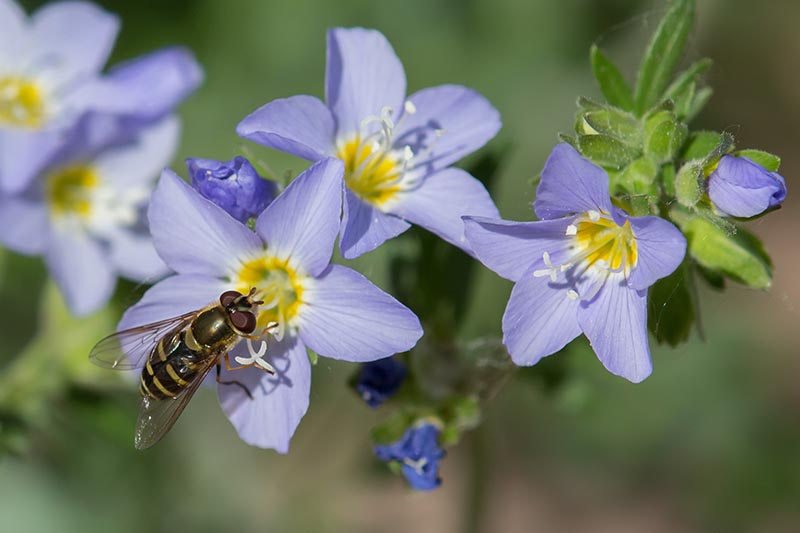 A close up horizontal image of an insect feeding from a light blue flower pictured in bright sunshine on a soft focus background.