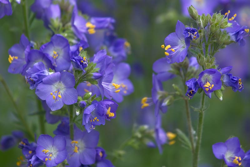 A close up horizontal image of bright blue Polemonium flowers pictured on a soft focus background.
