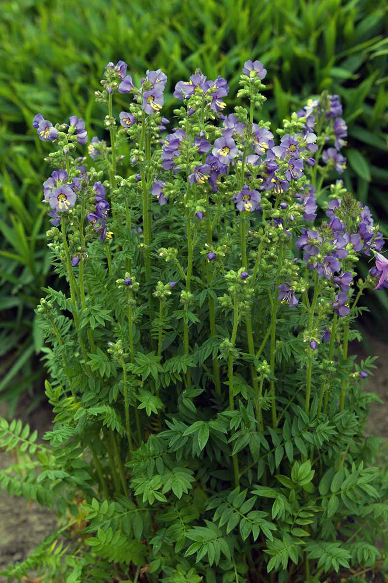 A close up vertical image of a clump of Jacob's Ladder plants growing in the garden with bright green foliage and delicate blue flowers.