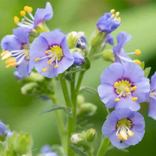 A close up square image of Polemonium reptans flowers growing in the garden pictured on a soft focus background.
