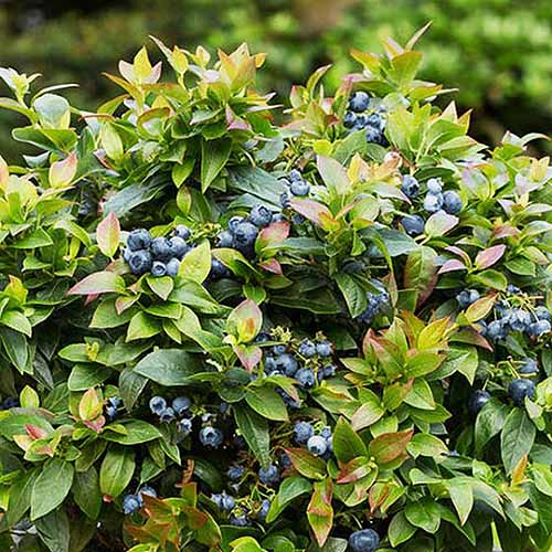 A close up square image of 'Jelly Bean' blueberry shrub growing in the garden pictured on a soft focus background.
