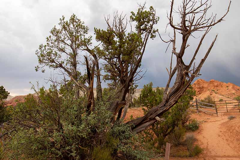 A close up horizontal image of a juniper tree growing at Chimney Rock with gathering clouds in the background.