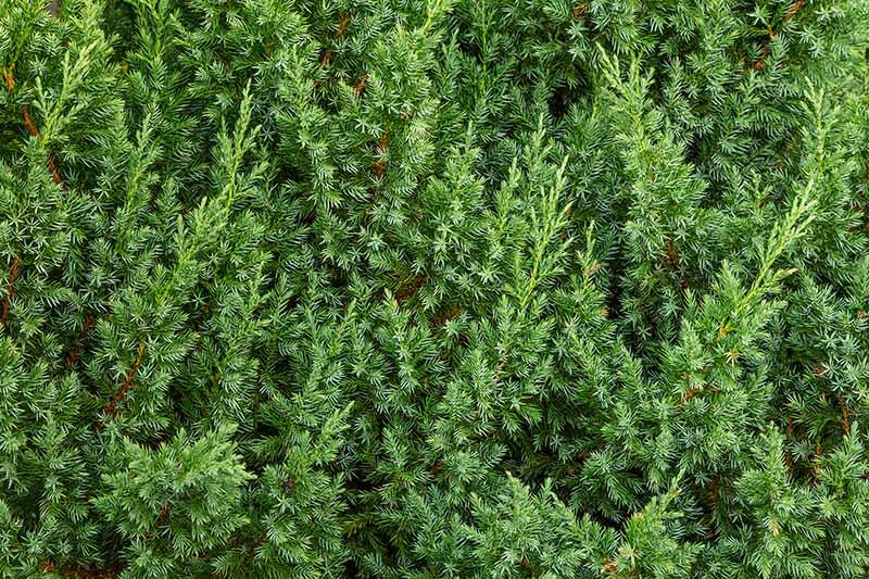 A close up horizontal image of light green juniper foliage.