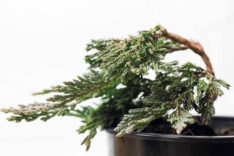 A close up horizontal image of a juniper shrub that has been trained to grow as a bonsai isolated on a white background.