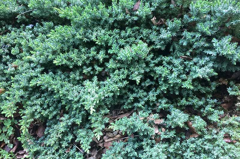 A close up horizontal image of Juniperus horizontalis foliage.