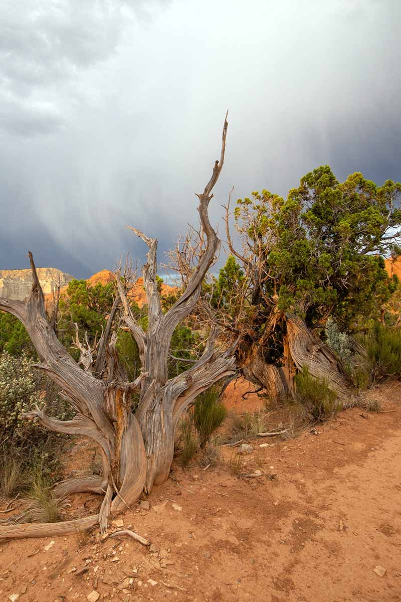 A vertical image of a large Juniperus osteosperma growing wild with clouds in the background.