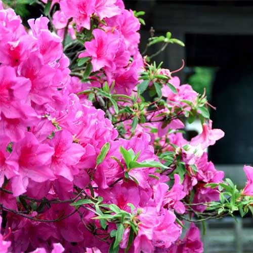 A close up square image of bright pink 'Karen' azalea blossoms growing outside a residence.