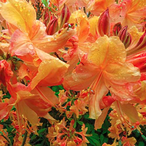 A close up square image of the bright orange and red flowers of 'Klondyke' azalea flowers growing in the garden.