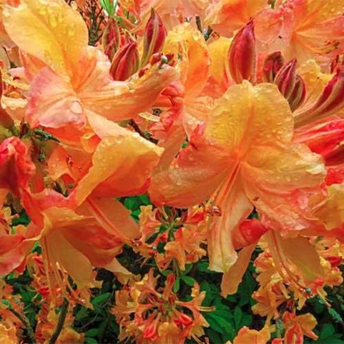 A close up square image of bright orange 'Klondyke' azaleas growing in the garden.