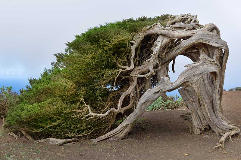 A horizontal image a large juniper tree growing wild at the coast with an unusual shape as a result of the wind.