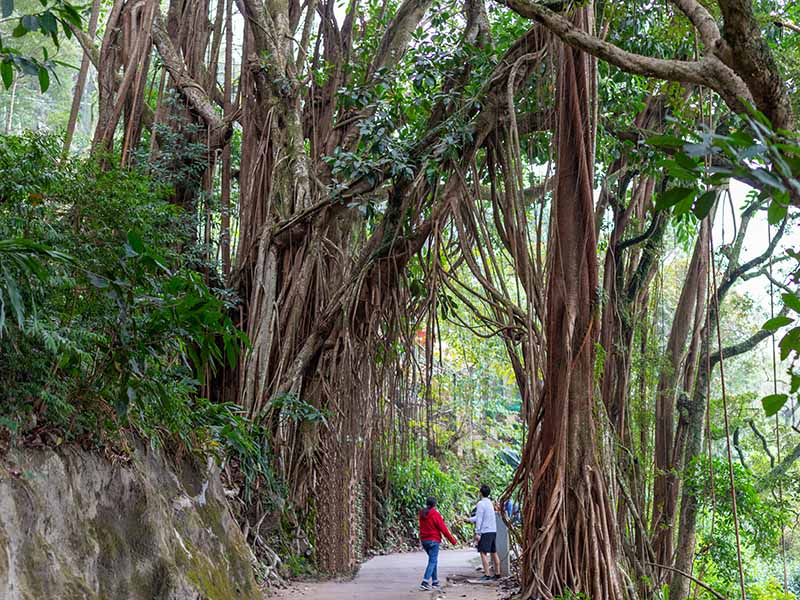 A horizontal image of a large Ficus elastica tree growing wild in India with people standing underneath its huge branches.
