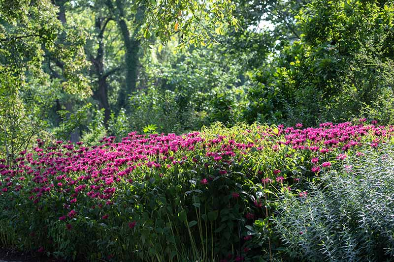 A horizontal image of a large stand of flowers growing in a shady spot with trees in the background.