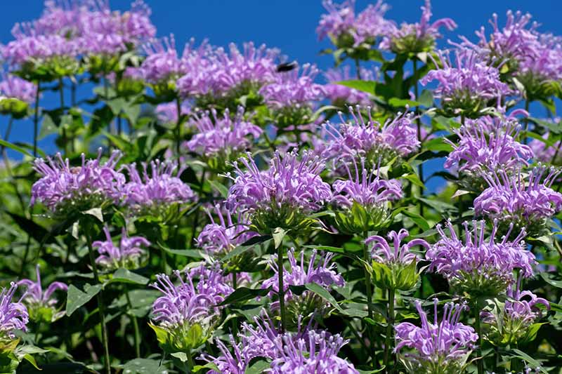 A close up horizontal image of a large stand of purple Monarda flowers pictured in bright sunshine on a blue sky background.