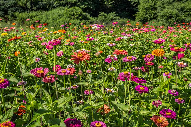 A horizontal image of annual flowers growing in a mass planting in a field with hedging in the background.