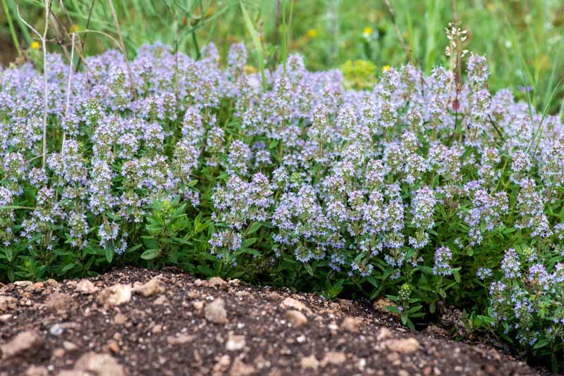 A close up horizontal image of the lavender colored flowers of common thyme growing in a rock garden pictured on a soft focus background.