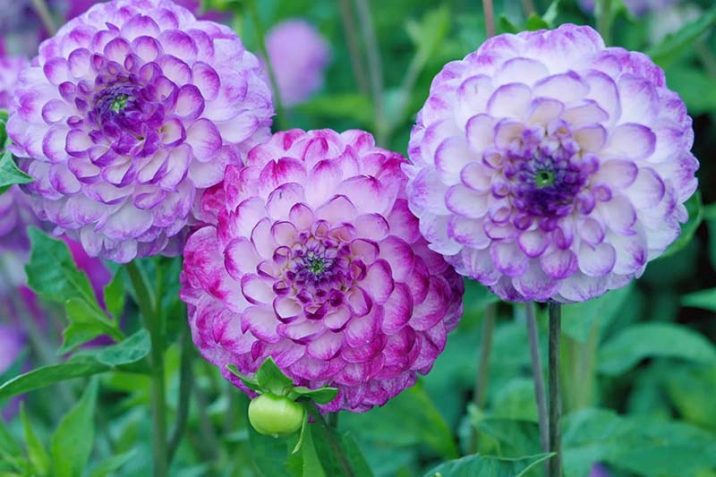 A close up horizontal image of light purple and white bicolored dahlias growing in the garden pictured on a soft focus green background.