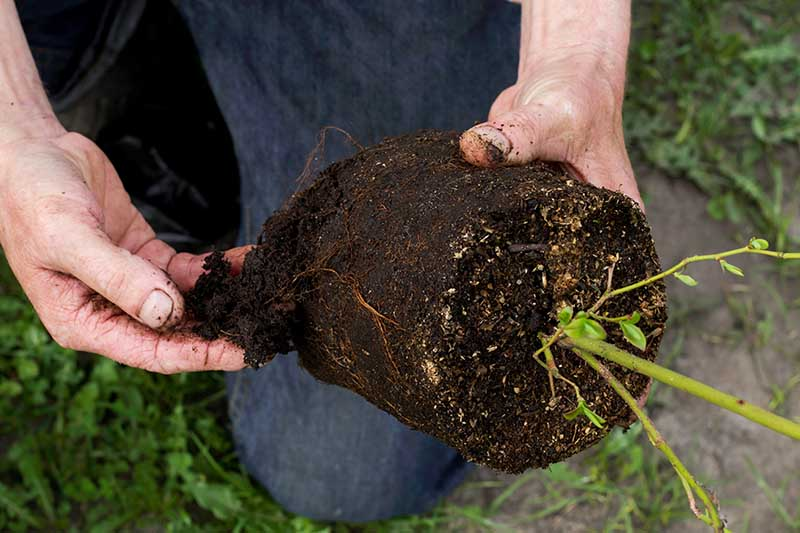 A close up horizontal image of two hands from the left of the frame loosening the roots of a potted plant prior to planting out in the garden.