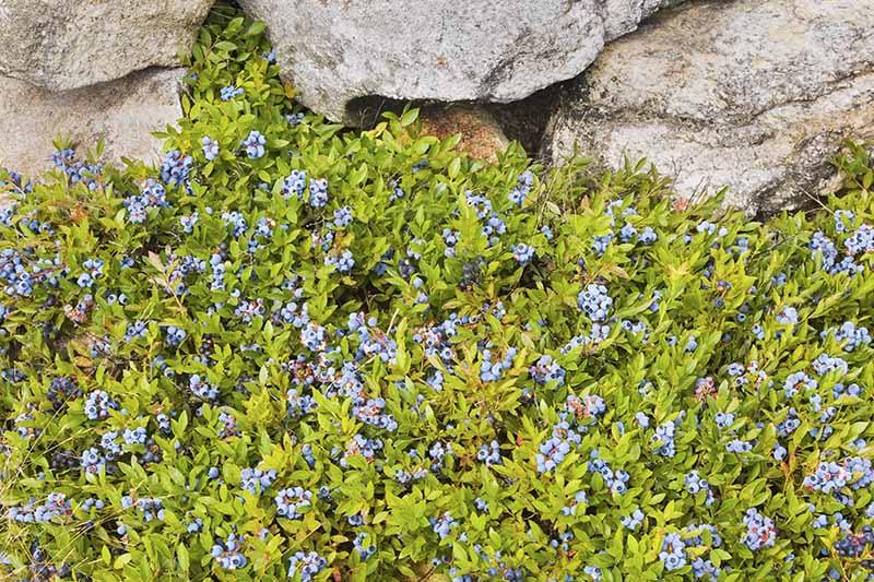 A horizontal image of lowbush blueberries growing as a ground cover in rock garden with bright green foliage and ripe fruit.