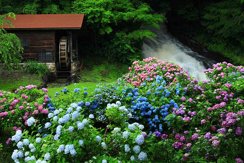 A horizontal image of a garden by the side of a turbulent river with masses of colorful flowers and a wheelhouse in the background.