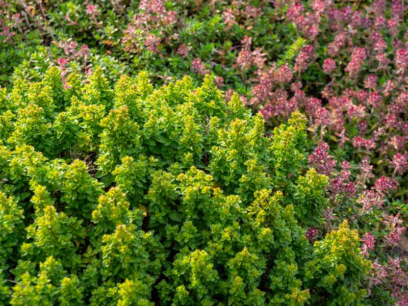 A close up horizontal image of a mature Thymus vulgaris bush growing in a mixed border planting.