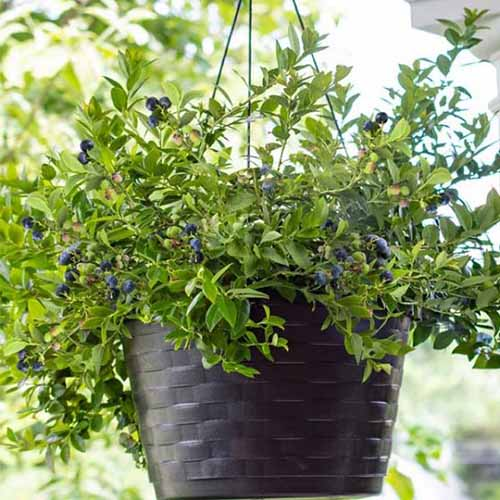 A close up square image of Vaccinium corymbosum 'Midnight Cascade' growing in a black plastic hanging basket pictured on a soft focus background.