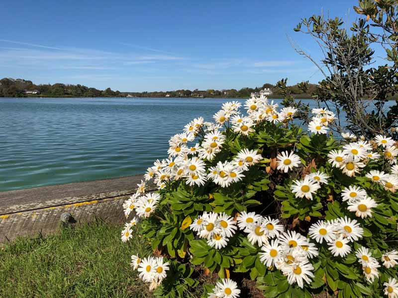 A horizontal image of Montauk daisy flowers (Nipponanthemum nipponicum) growing by the side of a lake.